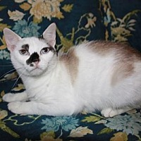 Domestic Shorthair Cat for adoption in Washington, D.C. - Mouse