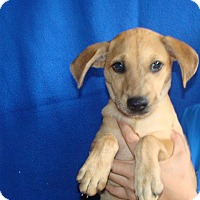 Adopt A Pet :: Ray - Oviedo, FL