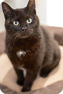Domestic Shorthair Cat for adoption in Philadelphia, Pennsylvania - Cupcake