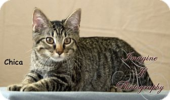 Domestic Shorthair Kitten for adoption in Oklahoma City, Oklahoma - Chica