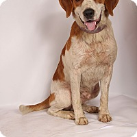 Adopt A Pet :: Chuck Big Beagle - St. Louis, MO