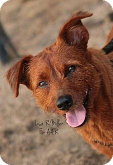Terrier (Unknown Type, Medium)/Australian Shepherd Mix Dog for adoption in Freeport, Florida - Koda Red