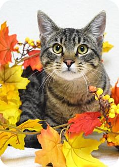 Domestic Shorthair Cat for adoption in Dublin, California - Gordon