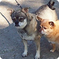 Pug/Chihuahua Mix Dog for adoption in Grinnell, Iowa - Princess Chloe