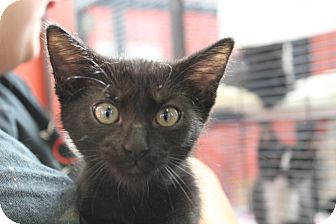 Domestic Shorthair Kitten for adoption in Sarasota, Florida - Jackie