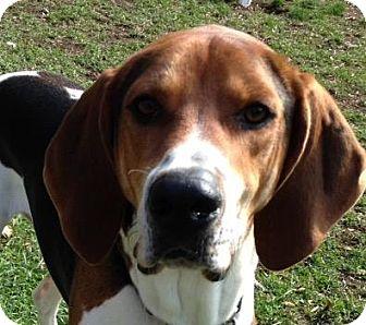 Treeing Walker Coonhound Dog for adoption in West Des Moines, Iowa - Hunter