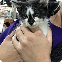 Adopt A Pet :: Tabitha - joliet, IL
