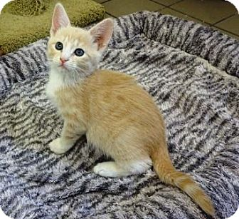 Domestic Shorthair Kitten for adoption in Lathrop, California - Dusty