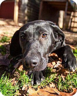 Labrador Retriever Mix Puppy for adoption in Rockville, Maryland - Izzy