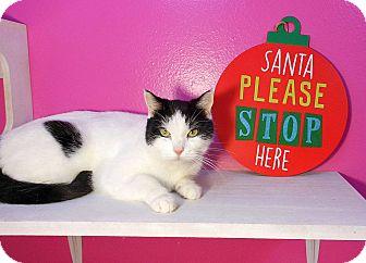 Turkish Van Cat for adoption in Glendale, Arizona - Wynter Skye