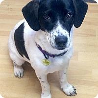 Adopt A Pet :: Mini IN CT - Manchester, CT