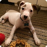 Adopt A Pet :: Gilmore - Houston, TX
