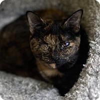 Adopt A Pet :: Belldandy - Tucson, AZ