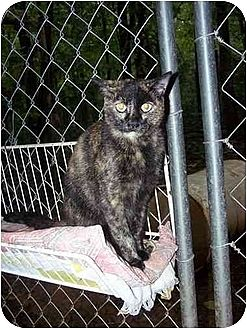 Domestic Shorthair Cat for adoption in Winnsboro, South Carolina - Brandi