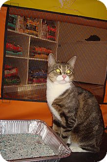 American Shorthair Kitten for adoption in Brooklyn, New York - Naomi