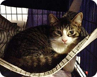 Domestic Shorthair Cat for adoption in Byron Center, Michigan - Kelby