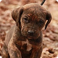 Adopt A Pet :: Taz (SG) - Brattleboro, VT