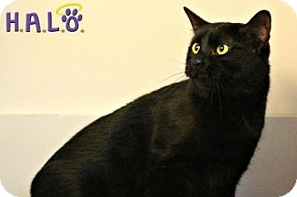 Domestic Shorthair Cat for adoption in Sebastian, Florida - Ace
