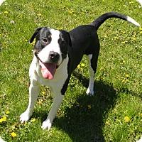 Adopt A Pet :: 1-1 Kash - Triadelphia, WV