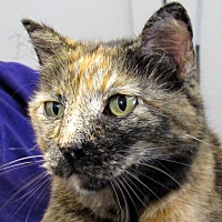 Domestic Shorthair Cat for adoption in Grinnell, Iowa - Sammi