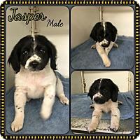 Adopt A Pet :: Jasper  meet me 5/27 - Manchester, CT
