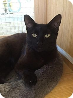 Domestic Shorthair Cat for adoption in Los Angeles, California - Raven