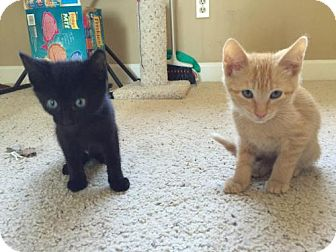 Domestic Shorthair Kitten for adoption in Walnut Creek, California - Sansa