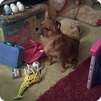 Pomeranian/Terrier (Unknown Type, Small) Mix Dog for adoption in Wdbg, Virginia - Harley