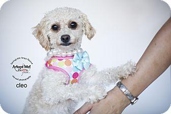 Miniature Poodle Mix Dog for adoption in Aqua Dulce, California - Clio