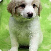 Adopt A Pet :: BRANDON - Westminster, CO