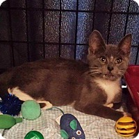 Domestic Shorthair Kitten for adoption in Freeport, New York - Gracie