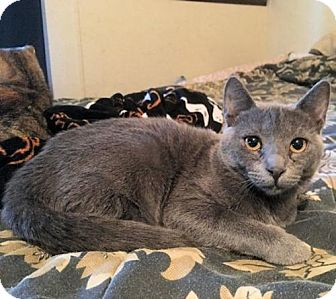 Domestic Shorthair Kitten for adoption in Rocky Hill, Connecticut - Tulip