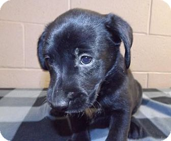 Labrador Retriever Mix Puppy for adoption in Oxford, Mississippi - Chateau