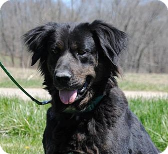 Newfoundland/Retriever (Unknown Type) Mix Dog for adoption in East Sparta, Ohio - Nina
