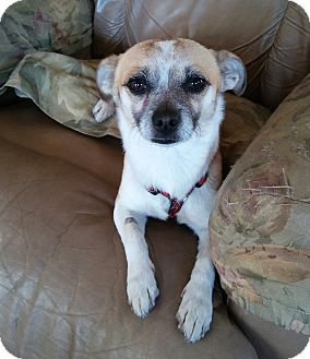 Terrier (Unknown Type, Small) Mix Dog for adoption in Auburn, California - SCOTTY