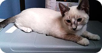 Siamese Cat for adoption in Riverside, California - Atlantis