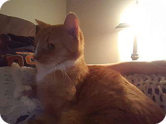 Domestic Shorthair Cat for adoption in Virginia Beach, Virginia - Itty Pitty