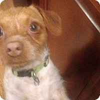 Adopt A Pet :: Pumpkin - Wyanet, IL