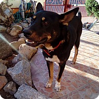 German Shepherd Dog Mix Dog for adoption in Corona, California - Toby