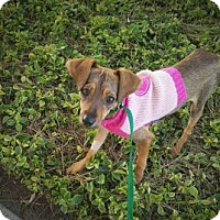 Adopt A Pet :: Bambi - Oceanside, CA