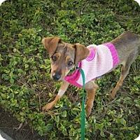 Adopt A Pet :: Bambi - Oceanside, CA
