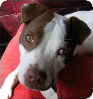 Pit Bull Terrier Dog for adoption in Poland, Indiana - Cato
