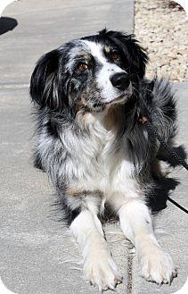 Australian Shepherd Dog for adoption in Elk River, Minnesota - River