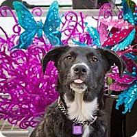 Adopt A Pet :: Lacey - Saskatoon, SK