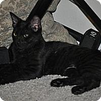 Adopt A Pet :: Licorice - Modesto, CA