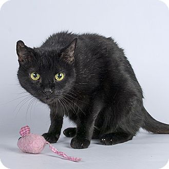 Domestic Shorthair Cat for adoption in Wilmington, Delaware - Teddy