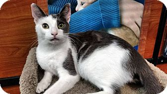 American Shorthair Cat for adoption in levittown, New York - BELMONT