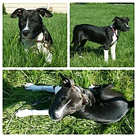 American Pit Bull Terrier Puppy for adoption in fort wayne, Indiana - Sophie