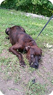 Pit Bull Terrier/Labrador Retriever Mix Puppy for adoption in Marion, Indiana - june