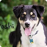 Adopt A Pet :: Toshi - Joliet, IL